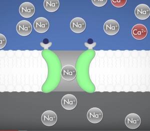 Sodium flows into post-synaptic neuron, thanks to glutamate